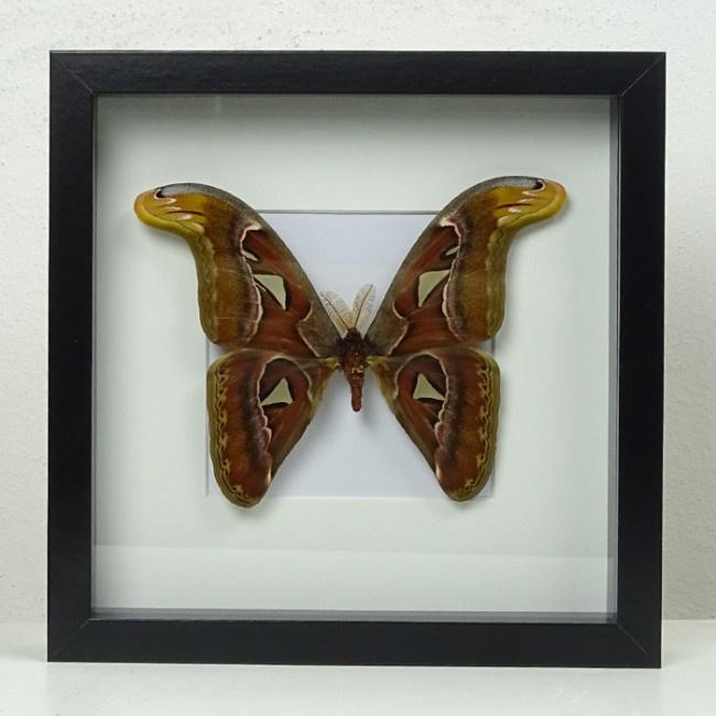 atlasvlinder-opgezet-lijst